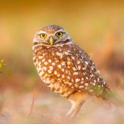 Openmalta-beginner-owl